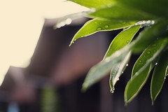 6.5.11 (obo-bobolina) Tags: rain may malaysia 365 cherating waterdroplet 2011 project365