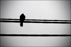 Glebe, Australia (Foraggio Photographic) Tags: bird rain silhouette grey drops pigeon sydney feathers australia powerlines vignette glebe linear
