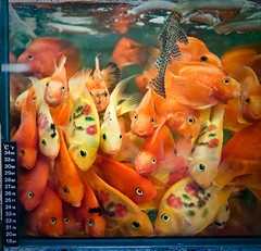 a crowded tank (samthe8th) Tags: fish hongkong tank goldfish sam faces many painted arr mongkok kok cr