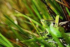 Chameleon (wise wolf (raul.r.goncalves)) Tags: green nature srilanka chameleon hortonplains wisewolf