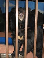 Sad Bears (ChrisDotson) Tags: bear animal cage cruel