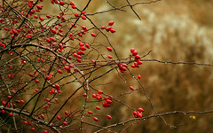 1920x1200-wallpaper-hips (Futurilla) Tags: uk autumn red wallpaper plant fall nature wet outdoors droplets natural widescreen dew stokeontrent thorns tangle staffordshire rosehips rosehip damp tawny hedgerow thorny glimmering futurilla 1920px