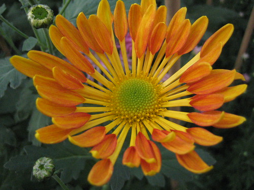 Chrysanthemum orange-1