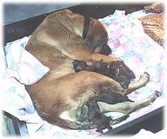 1/30/06 - The night after they were born (muslovedogs) Tags: dogs puppy mylady mastweiler myladyoffspring lilboyoffspring
