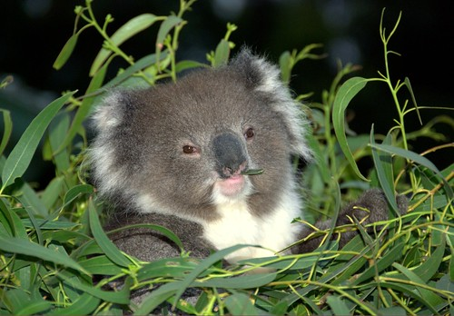 Cute Baby Koala Wallpaper farm3 static flickr com2228