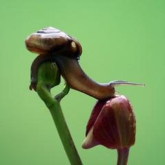 streeeeeeeetching! (Jeremy-G) Tags: red flower green canon eyes bravo slow snail buds tamron shel stretching 70300 magicdonkey 400d macro12