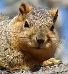 Nothing special... (EcoSnake) Tags: animals squirrels wildlife idaho boise upclose naturecenter easternfoxsquirrel idahofishandgame