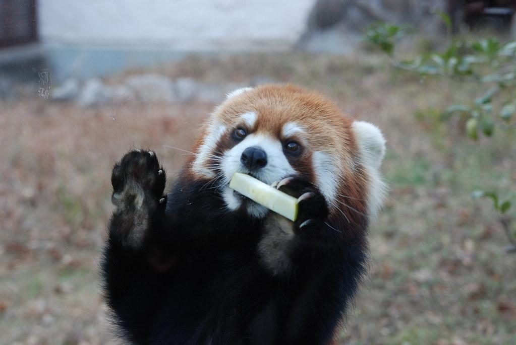 レッサーパンダの画像 p1_28