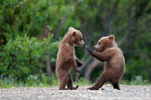 bear-cubs / Ron NIebrugge