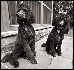 Winnie and Pooh- Chocolate Standard Poodles (dog ma) Tags: dog pet dogs sepia explore dogma 489 petportrait standardpoodle sigma1020mm flickrexplore chocolatepoodle nikond80 thelittledoglaughed flickrchallengewinner photofaceoffwinner royalstandardpoodle pfogold winnieandpooh brownstandardpoodles