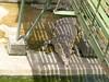 Irwan Crocodile Farm (Bradfordian Cliff) Tags: philippines palawan crocodilefarm palawanwildliferescueandconservationcenter