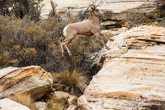 Desert Big Horn Sheep – Red Rock Canyon