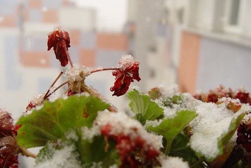 pelargonia with ice