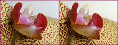 3-D Orchid #2 (Lord V) Tags: orchid flower macro 3d brillianteyejewel
