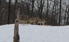 Pack of Coyotes (Elvis Pépin) Tags: coyote bear snow buffalo wolf deer bison boar parcomega antler montebello