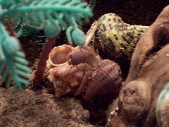 100_0111 (zachcheatham) Tags: pets shell crabs crustation hemit