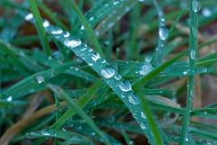 Morgens (eriwst) Tags: detail nature water wasser natur drop dew gras tau grn tropfen 200804161930482747