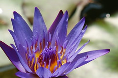 Water lily (ddsnet) Tags: plant flower water waterlily lily sony 350 aquatic  aquaticplants       lily water  tetragona water   350 lily nymphaeatetragona waterlily    nymphaea plants nymphaeatetragon aquatic nymphaea tetragona plantsnymphaea tetragona