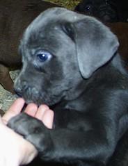 Jack (muslovedogs) Tags: dogs puppy canecorso mastweiler zeusoffspring maggieoffspring rexoffspring myladyoffspring