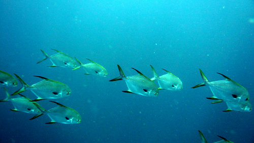 School of Snubnose Pompano at Similan Islands, Thailand