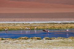 Flamingos. (david takes photos) Tags: losflamencosnationalreserve reservanacionallosflamencos atacama chile sanpedrodeatacama regióndeantofagasta x flamingo flamingoes