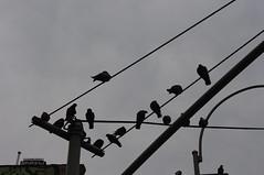 Skrew (jimmumbles) Tags: pigeons skrew telephonewires