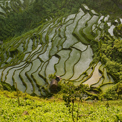 Terrace rice fields, Yunnan, China (Eric Lafforgue) Tags: china travel color colour green field landscape rice terrace terraces  yunnan kina chin cina chine openair xina    tiongkok  chiny  terrasses kna in outsides   exteriorshot trungquc na   kitajska tsina       a0006538 eastcentralasia