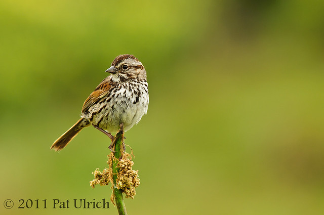 Perched sparrow - Pat Ulrich Wildlife Photography
