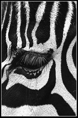Zebras eye (pavel conka) Tags: national natur oi proda raw way echy zvata zoo hdr faces europa eos czech cestovn cesta bw canon animal animals adventure 30d zebra liberec ar1
