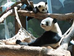 Mei Lan and Lun Lun (Patty926) Tags: panda lani lun zooatlanta pandas lunlun meilan