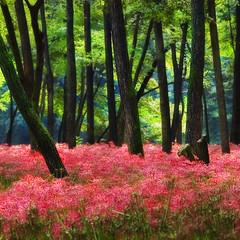 spring fields is like eternity (ajpscs) Tags: japan tokyo amaryllis  nippon  springfield saitama manjushage  timelessness  gtaggroup ajpscs nikonstunninggallery hidakacity platinumphoto lilylikeflowersborne leaflessstalks thememorywillremainforeternity