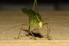 IMG_0434 (-kbull-) Tags: grasshopper katydid 580ex canonef100mmf28macrousm