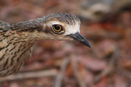 curlew2 005