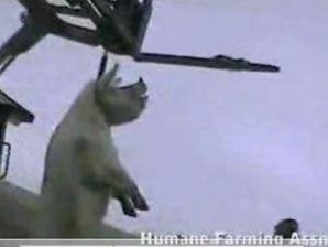 2007-11-16 - Kinship Circle - Hanging Pigs at Wiles Farm 02