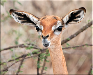 Gerenuk (Litocranius walleri) Giraffgasell