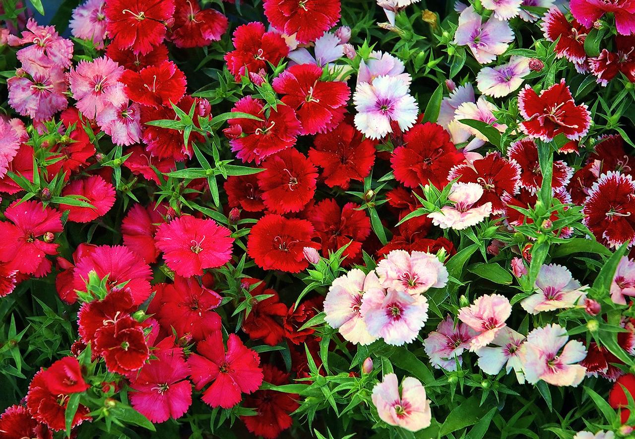 Гвоздика китайская цветов