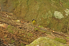 IMG_6933 Yellow-throated Scrubwren (Sericornis citreogularis) (ajmatthehiddenhouse) Tags: bird qld queensland 2007 lamingtonnp sericornis australia2007 sericorniscitreogularis yellowthroatedscrubwren citreogularis