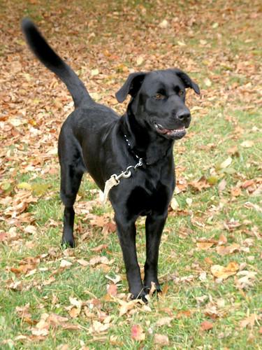 black labrador - Rowan