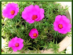 Potted Portulaca grandiflora with 2 inches wide magenta flowers in our garden