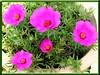 Portulaca grandiflora (Moss Ross, Sun Plant)