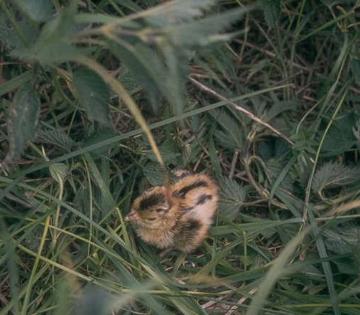 pheasantchick.jpg
