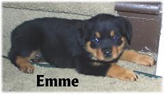 e4 (muslovedogs) Tags: dogs puppy rottweiler teaara zeusoffspring