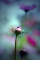 ~ Young ~ (Lee_Bryan) Tags: flower macro nature canon eos bravo 100mm usm cosmos f28 naturesfinest flowerotica 400d colorphotoaward aplusphoto natureoutpost macroflowerlovers superbmacroflowers
