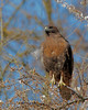 Western Red-tailed Hawk (Dave Stiles) Tags: birds hawk ornithology birdwatcher stiles specanimal wingedwonders worldbest platinumphoto avianexcellence theperfectphotographer bestofanimals feathersbeaksbirds