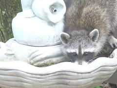 Our little raccoon buddy