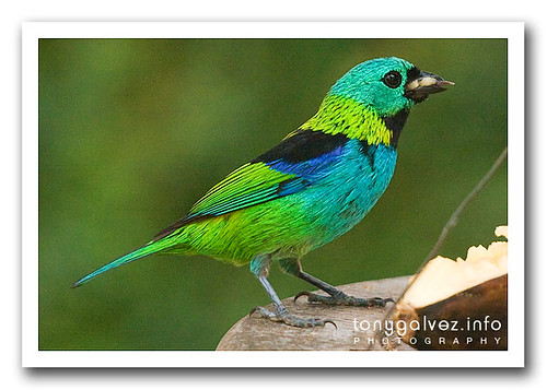 saíra-sete-cores / green-headed tanager (Tangara seledon)