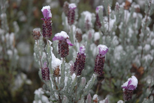 Sage flowering in the snow, Seattle, Washington by Wonderlane on Flickr