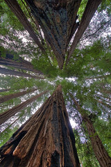 Look Up (Rudy M Photography) Tags: sanfrancisco california trees nature forest canon woods muirwoods 1022mm 30d naturesfinest 5photosaday azofdigitalediting