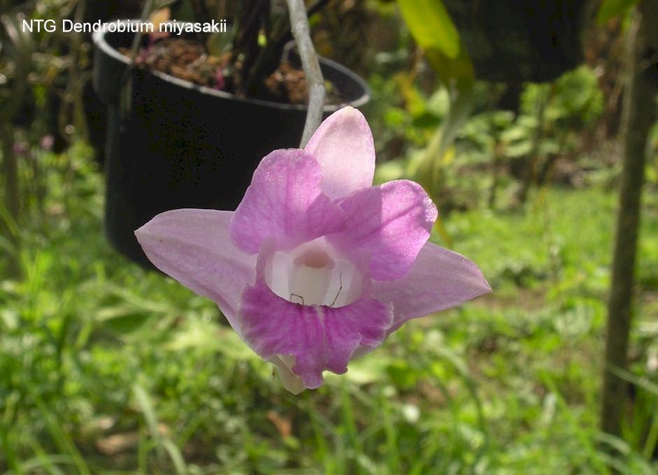 Dendrobium miyasakii
