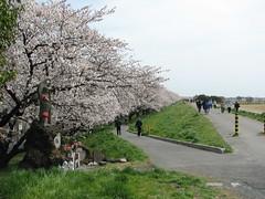 熊谷桜堤_0886